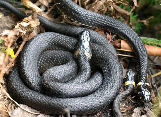 Змії на Воздвиження дуже злі