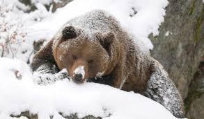"""Результат пошуку зображень за запитом """"ведмідь і барліг"""""""